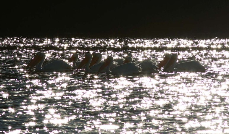 White Pelicans Backlit By Sparkling Water