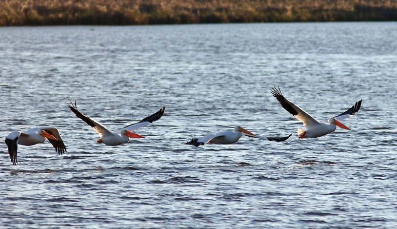White Pelicans Cruising The Marsh Pond