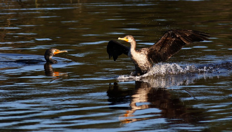 Cormorant Dropping In On Friend