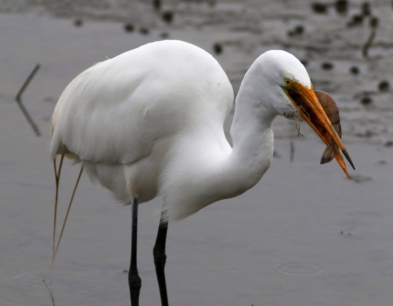 Egret Gets The Shrimp Platter