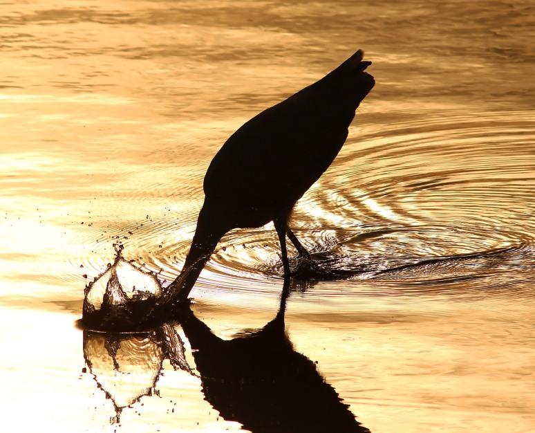 Egret Still Fishing at Sunset