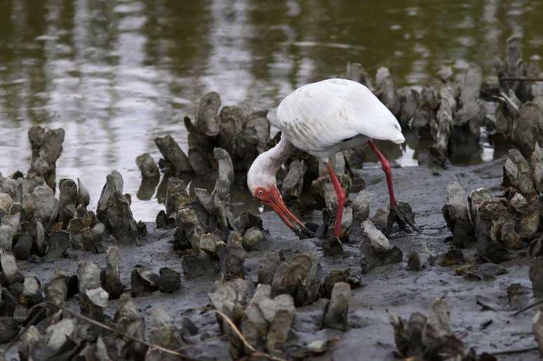 Ibis in the Oyster Beds