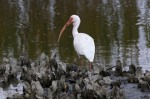 Ibis in the OysterBeds