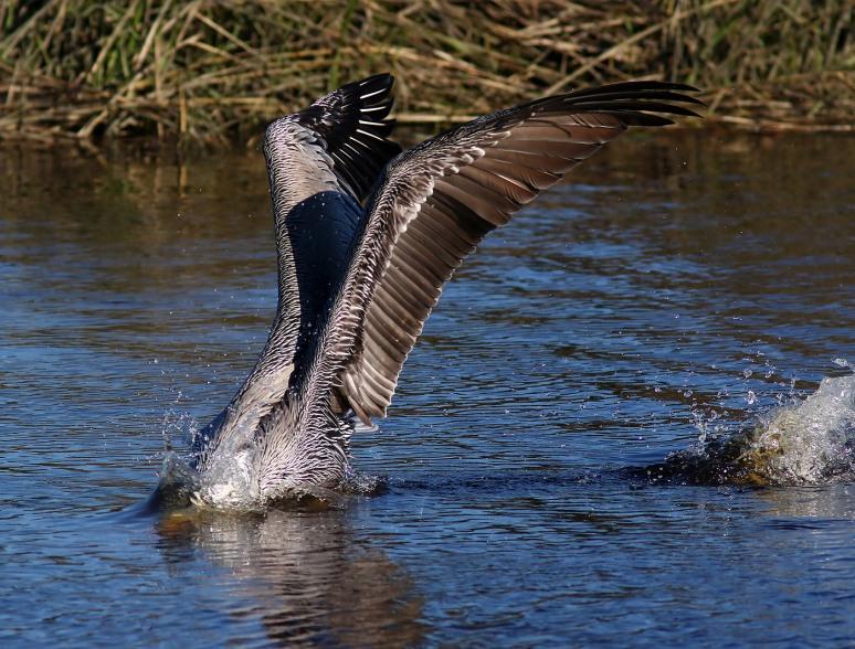 Nice Landing For Pelican
