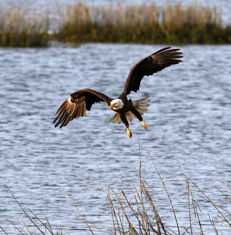 Pelicans And Eagle Battle For Big Fish