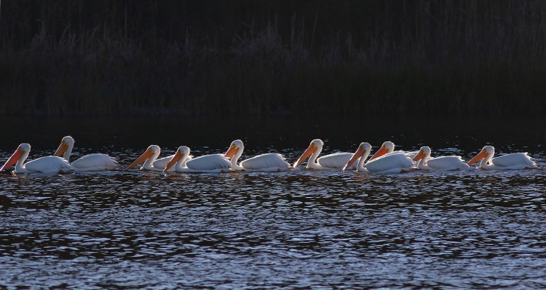 White Pelicans Line Up