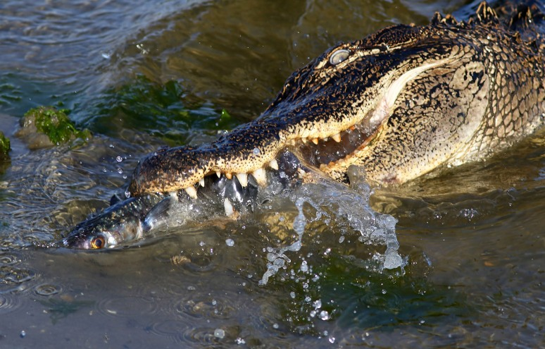Alligator Grabs Big Dinner in Salt Marsh
