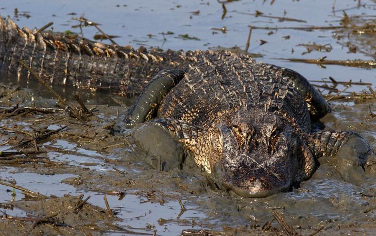 Alligator Playing in the Mud in Salt Marsh