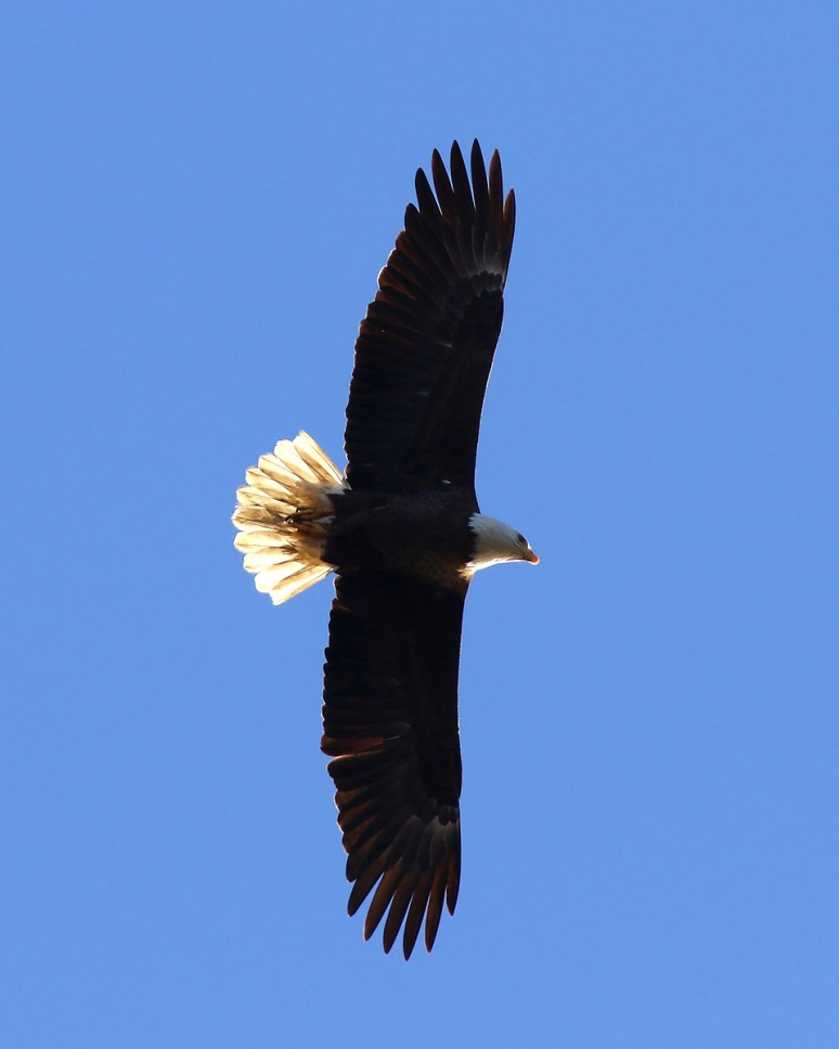 Bald Eagle Direct Overhead Flight