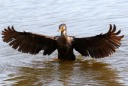 Cormorant Ready For Takeoff