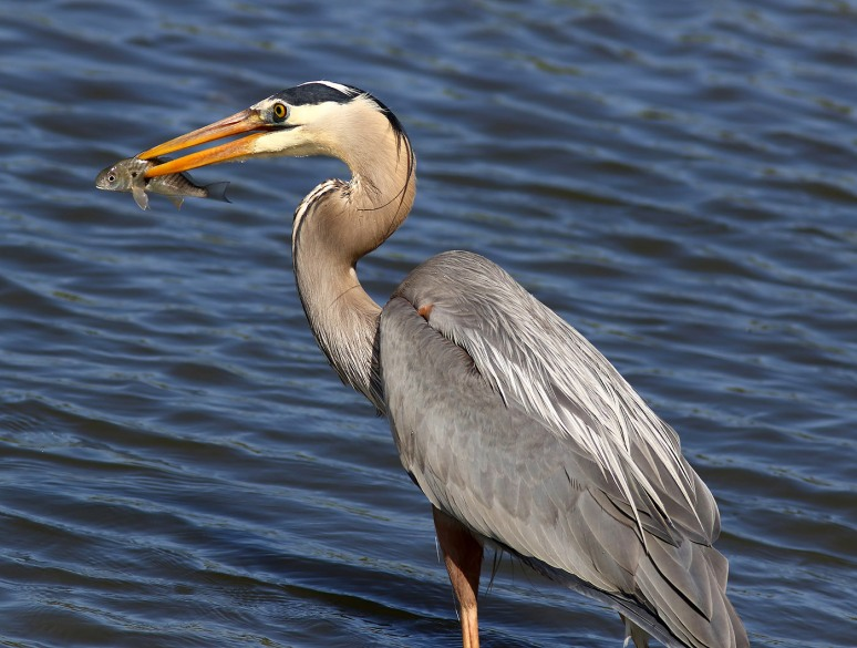 GBH Grabs A Quick Snack From The Salt Marsh