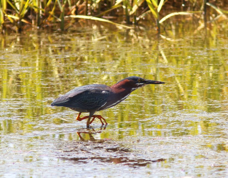 Green Heron Shows Up at the Marsh