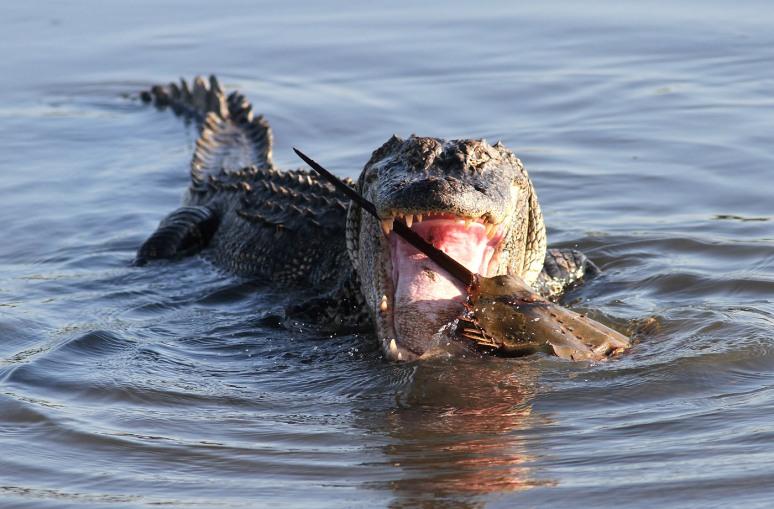 Alligator With Horseshoe Crab