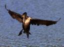 Cormorant Makes An Arrival