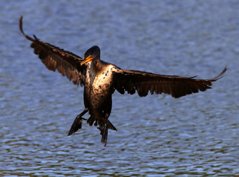 Cormorant Makes An Arrival