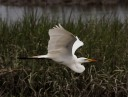 Egret Afternoon Fly and Fish