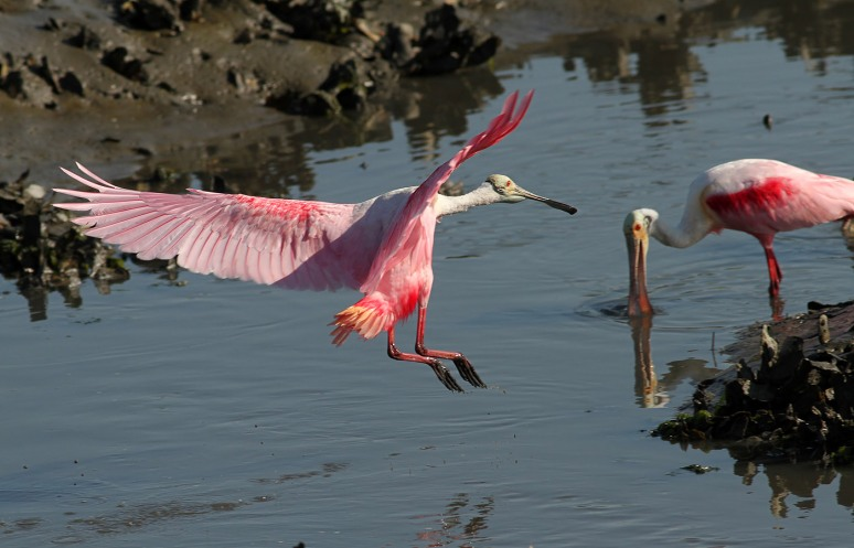May Spoonbill Appearance