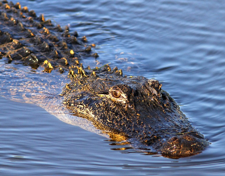 Morning Gator Swimming In
