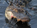 Alligator Gets A Mouthful Of Muddy Water 01