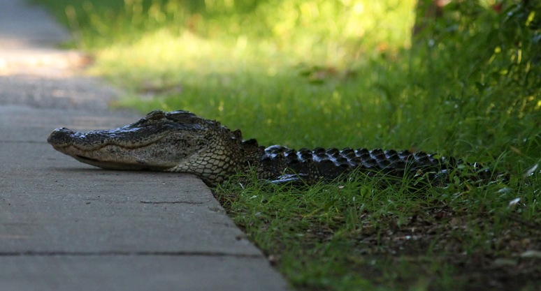 Alligator Heads For The Swamp