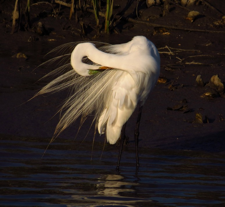 Egret Preening in Salt Marsh