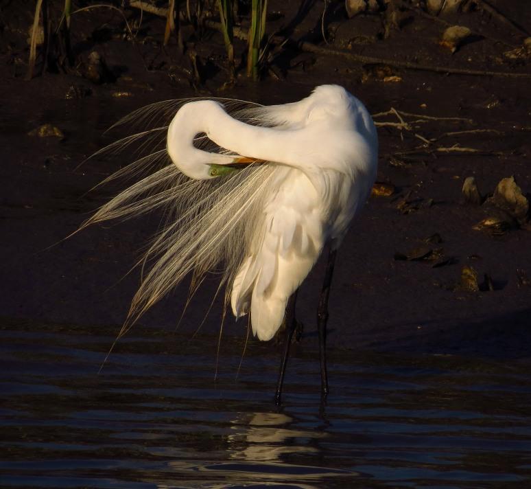 Egret Preening in Salt Marsh
