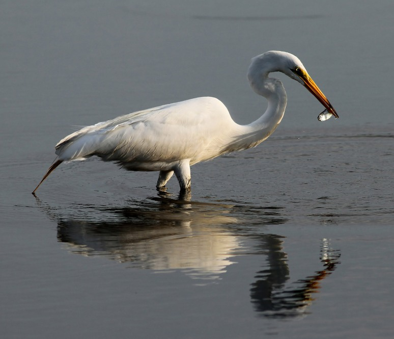 Egret With Small Early Morning Catch