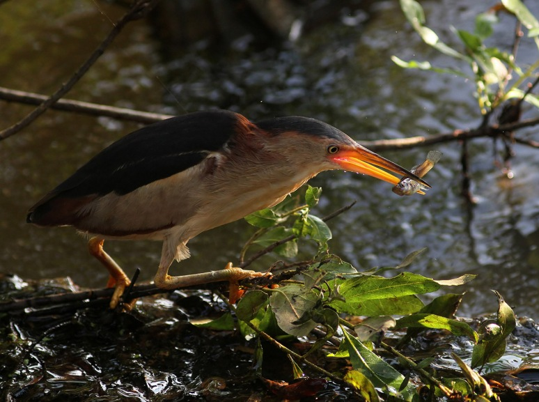 Least Bittern Fishing in the Swamp