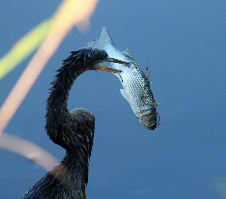 Anhinga Beats Up Fish