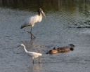 Sneaky Alligator Gets Help