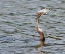 Anhinga Loses Big Fish