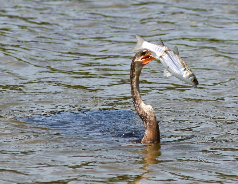 Anhinga Loses Big Fish