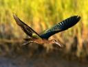 Glossy Ibis Flight Across the Salt Marsh