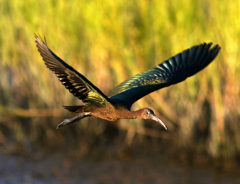 Glossy Ibis Flight Across the Salt Marsh