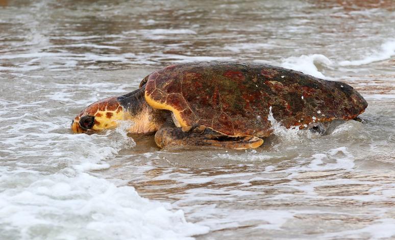 magnolia-sea-turtle-release-at-hbsp-