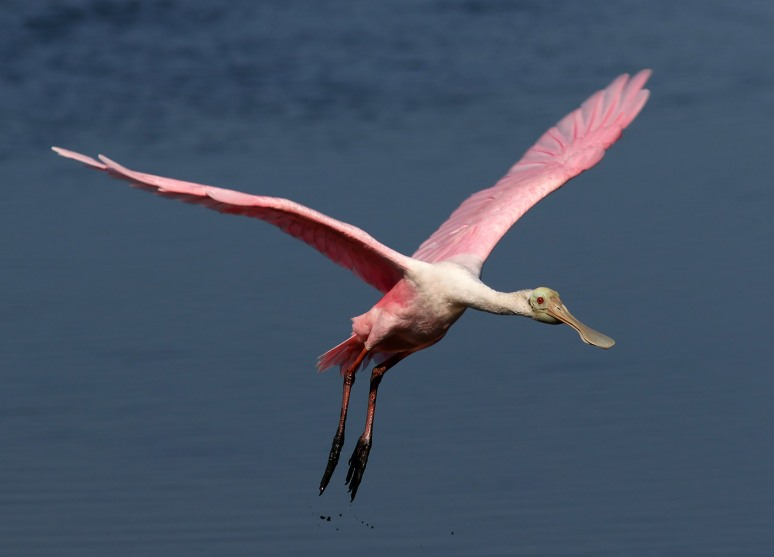 six-spoonbills-arrive-in-the-marsh-