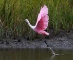 spoonbill-pair-arrive-fish-leave-