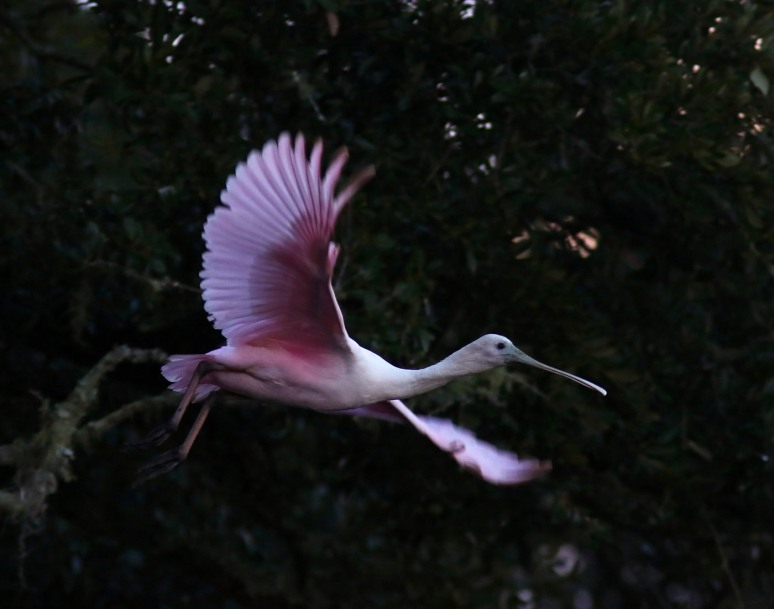 spoonbill-up-a-tree-