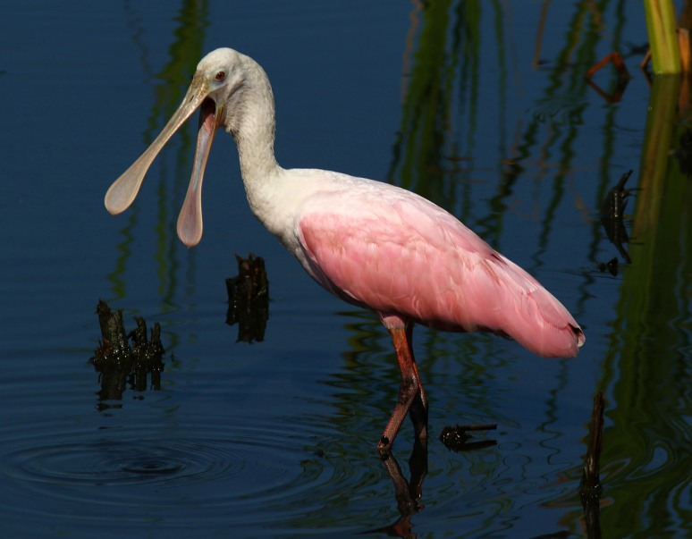 what-no-spoonbills-