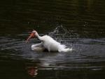 ibis-afternoon-bath-in-the-salt-marsh-