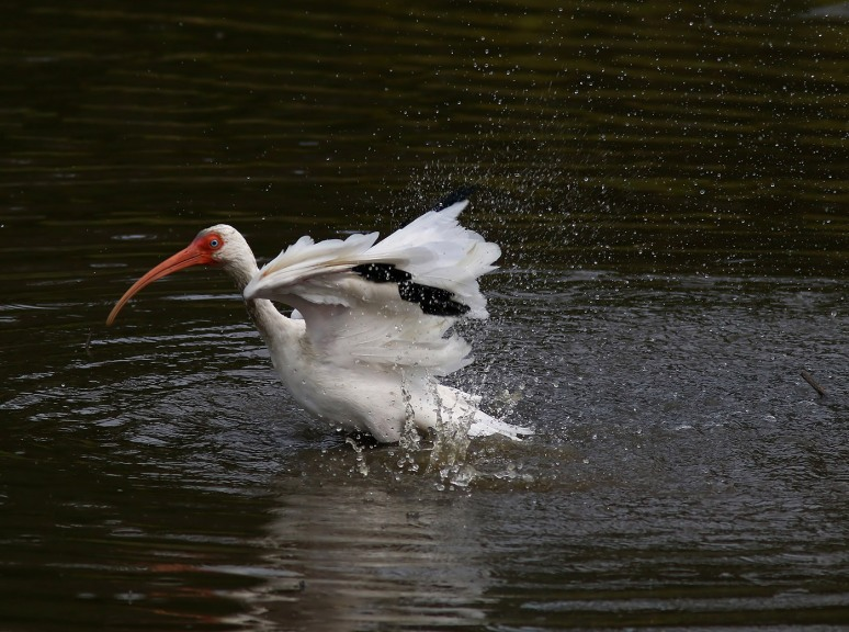 ibis-afternoon-bath-in-the-salt-marsh-