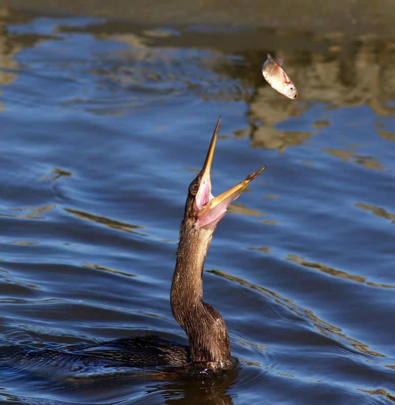 anhinga-and-cormorant-fishing-