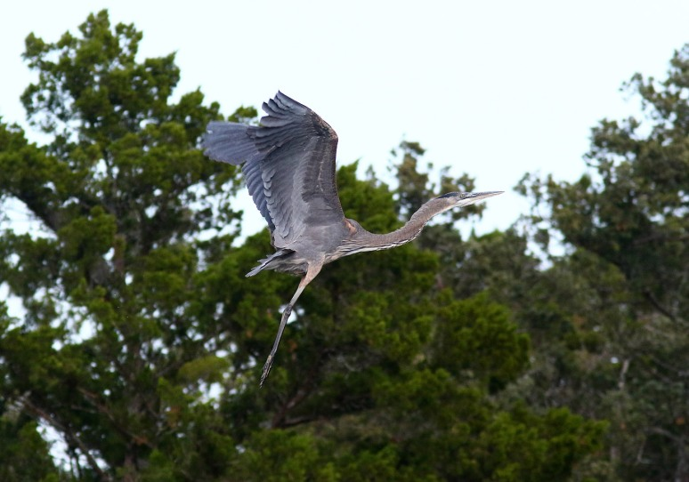 gbh-chases-osprey-from-tree-