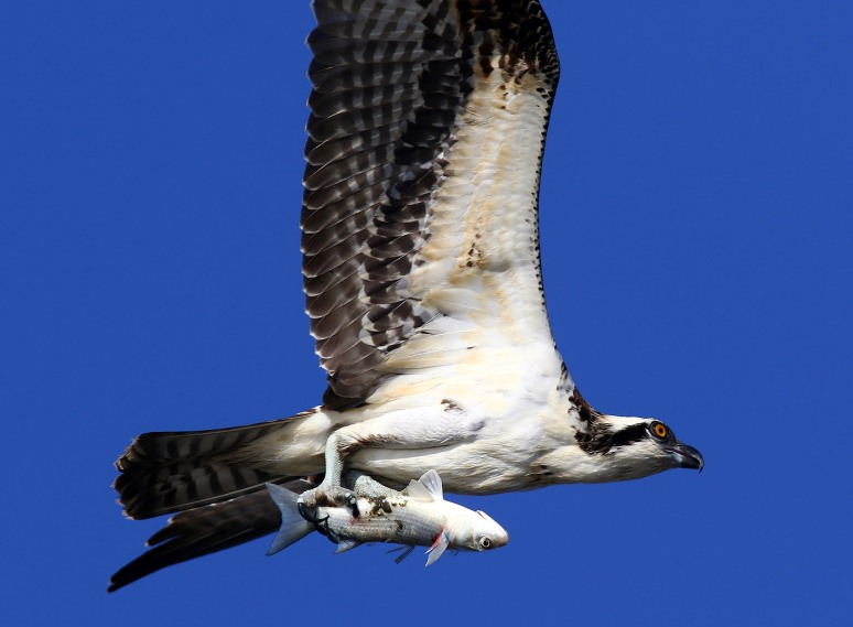 hard-working-osprey-catches-fish-