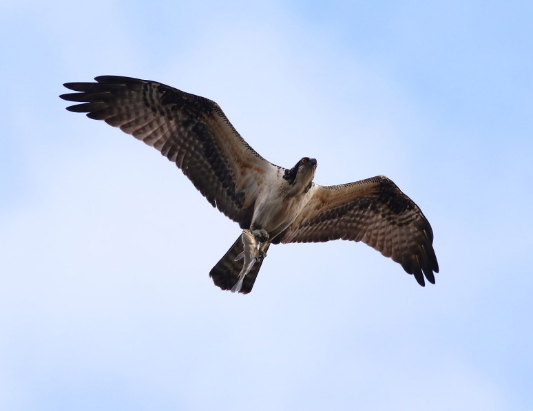 osprey-flying-with-take-away-