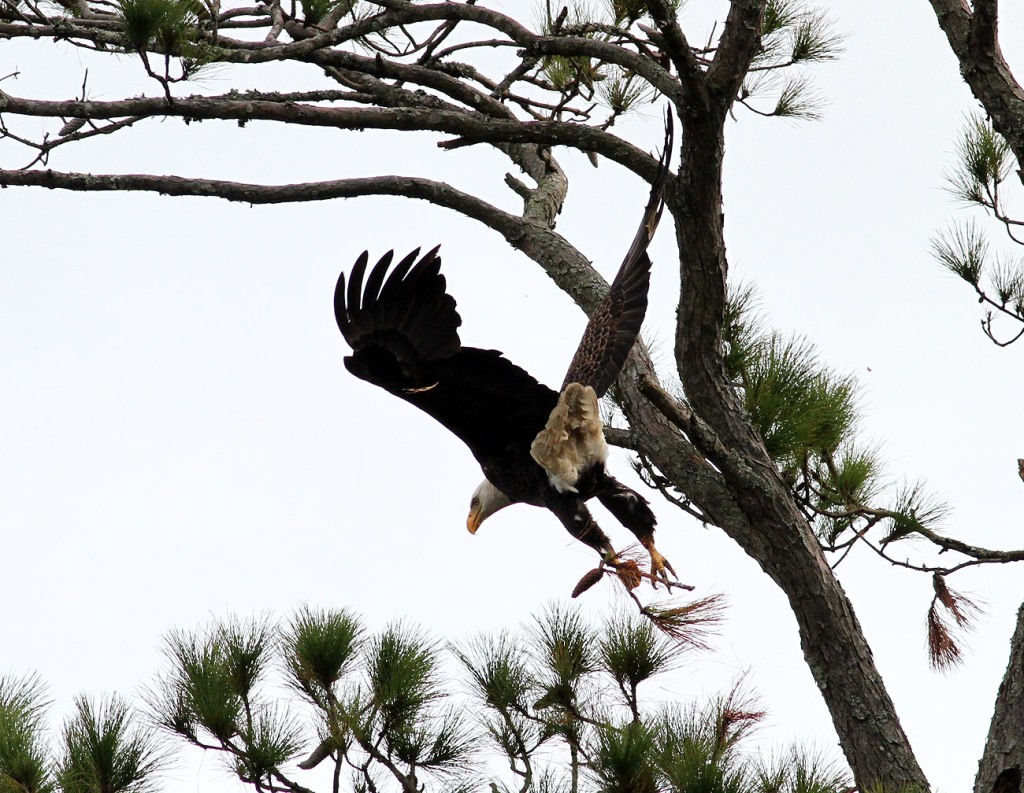 bald-eagle-snaps-branch-