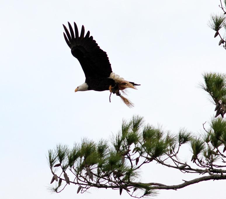 bald-eagle-snaps-branch-