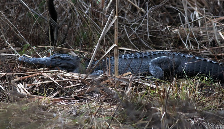 dec-alligators-in-the-swamp-