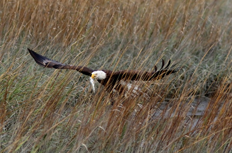 eagle-takes-fish-from-gbh-