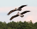 father-and-son-pelicans-